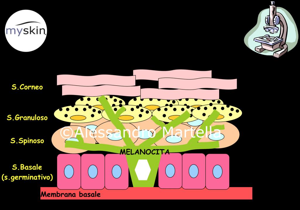 Melanociti e Cheratinociti a livello dell'epidermide