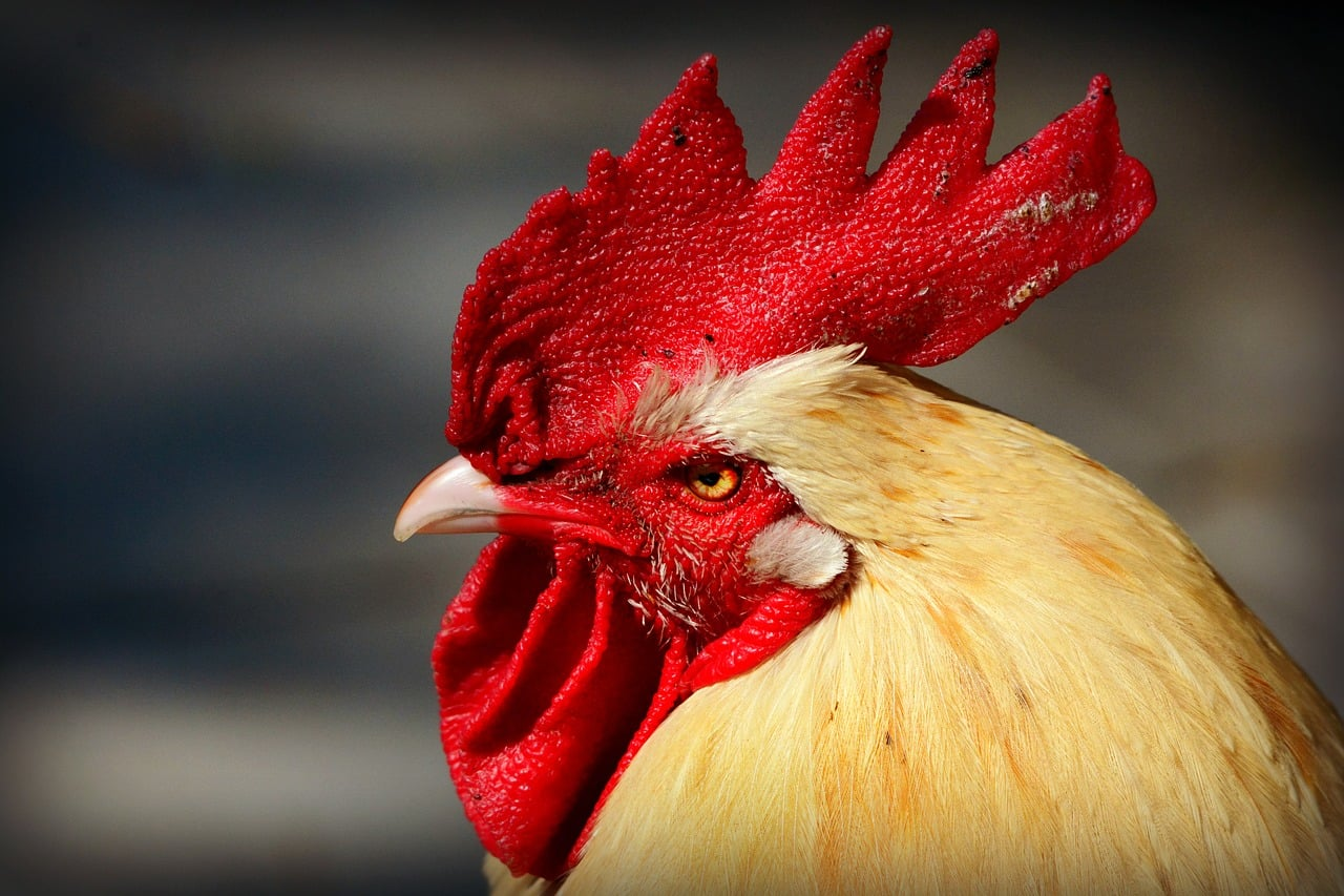 papilloma virus uomo cresta di gallo