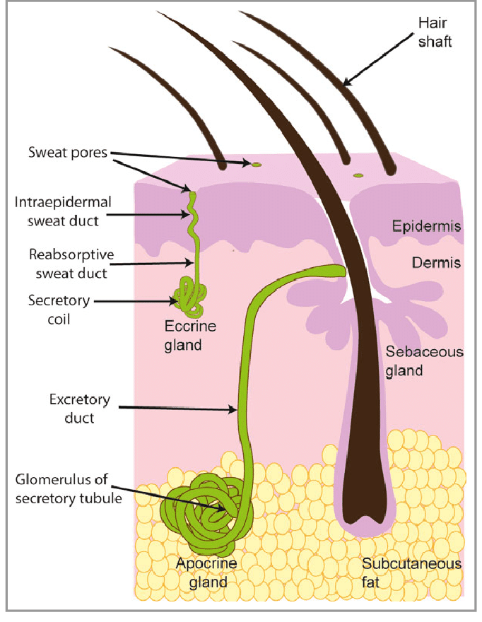 Basic-structure-of-sweat-glands-The-eccrine